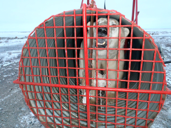 This fall, Arviat wildlife officer Joe Savikataaq Jr. set up this bear trap outside the community to capture polar bears and relocate them farther north of the community. (PHOTO COURTESY OF J. SAVIKATAAQ)