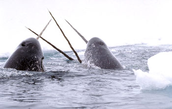 Canadian officials are defending the decision to ban the export of narwhal tusks. (FILE PHOTO_
