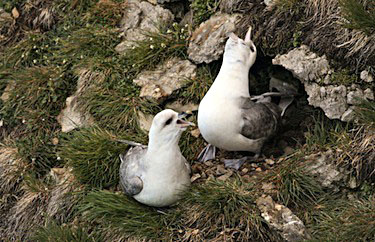 Northern Fulmars, shown here greeting each other on a nest on a rocky cliff at a breeding colony in Nunavut, are swallowing more and more wayward plastics. (PHOTO BY MARK MALLORY/CWS)