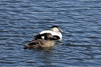 People living in Aupaluk say they won't see any young eider ducks this year due to the destruction of eggs and nests in a nesting area near the community. (FILE PHOTO)