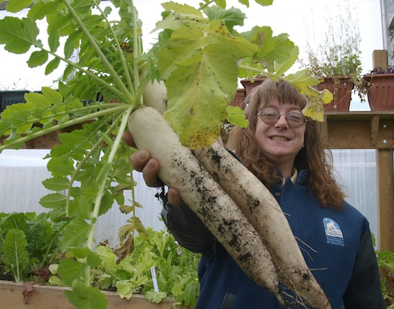 Darlene Thompson, a member of the Iqaluit Community Greenhouse Society, shows off her daikon harvest. The organization says they'd like to build a second greenhouse to accommodate the community's interested gardeners. (PHOTO BY CHRIS WINDEYER)