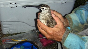 This whimbrel Chinquapin is reportedly resting in the Caribbean after flying through Hurricane Irene during his long migration south from Nunavut to Brazil. (PHOTO HANDOUT FROM GEORGIA DEPT. NATURAL RESOURCES)