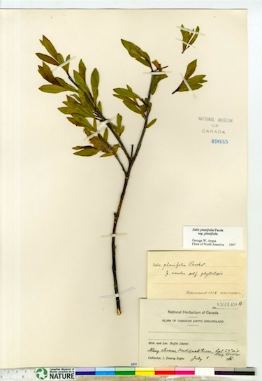 This is what a herbarium sample looks like after it's been dried and mounted. This example of Salix planifolia, commonly known as tea-leaved willow, was collected by J. Dewey Soper July 1, 1931 along what is now the Soper River. (PHOTO COURTESY OF THE CANADIAN MUSUEM OF NATURE)