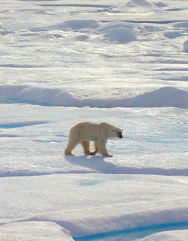 The numbers of polar bears in the Foxe Basin appear to be stable, according to researchers with Nunavut's environment department. (FILE PHOTO)