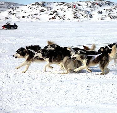 Dogs race off down Frobisher Bay April 14 at the start of Toonik Tyme's annual dog team race. The winners of race: 1. Andrew Maher and Julia Landry 3:01:14; 2. Mike and Theresa DeMaio 3:08:30; 3. Siu Ling Han and David Abernathy 3:30:40; 4. Louis Philip Potier 4:26:28. (PHOTO BY SAMANTHA DAWSON)