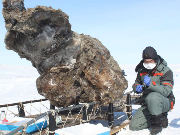 "A Russian researcher Northeastern Federal University in Yakutsk works May 13 near a frozen carcass of a female mammoth, found on Lyakhovsky Island off Russia's Arctic coast. The Russian scientists say they discovered blood in the carcass of the mammoth, thought to have died and then frozen 10,000 to 15,000 years ago, and that this blood might enable them to clone mammoths. ""The blood is very dark, it was found in ice cavities below the belly and when we broke these cavities with a poll pick, the blood came running out,"