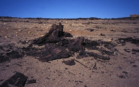 Ancient tree trunks like this one can be found on Axel Heiberg Island in Nunavut's High Arctic. (FILE PHOTO)