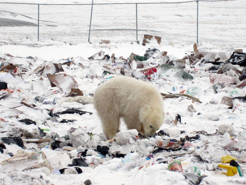 A polar bear rummages around the dump outside of Arviat. The hamlet hopes to renew a contract with the World Wildlife Foundation that helps pay a polar bear monitor to protect the community from nuisance bears. (PHOTO COURTESY OF THE HAMLET OF ARVIAT)