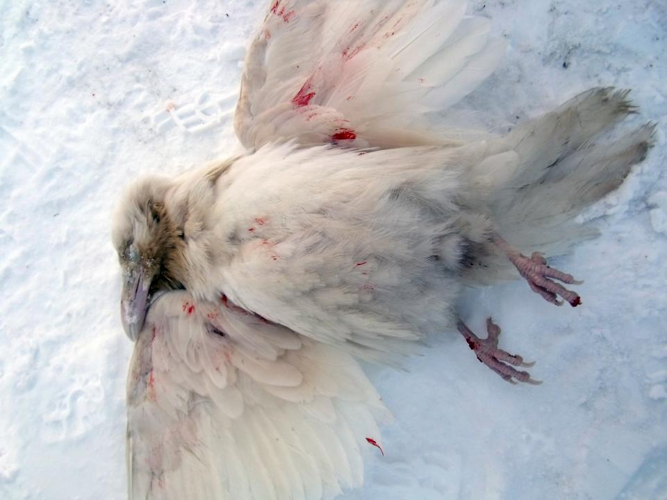 The newspaper Sermitsiaq published this photo of a rare white raven discovered in Ikerasaarsik, Greenland Nov. 13. (PHOTO COURTESY OF LARS KARLSEN/SERMITSIAQ)