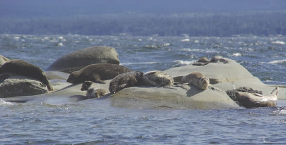 New research suggests that warming Arctic waters could change the mating habits of seals and other pinniped species who live in the North. (PHOTO COURTESY OF DFO)