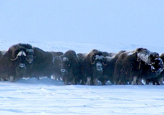 The sight of muskox herds around Cambridge Bay was once common, but now hunters must travel far from the community to find the animals. (FILE PHOTO)
