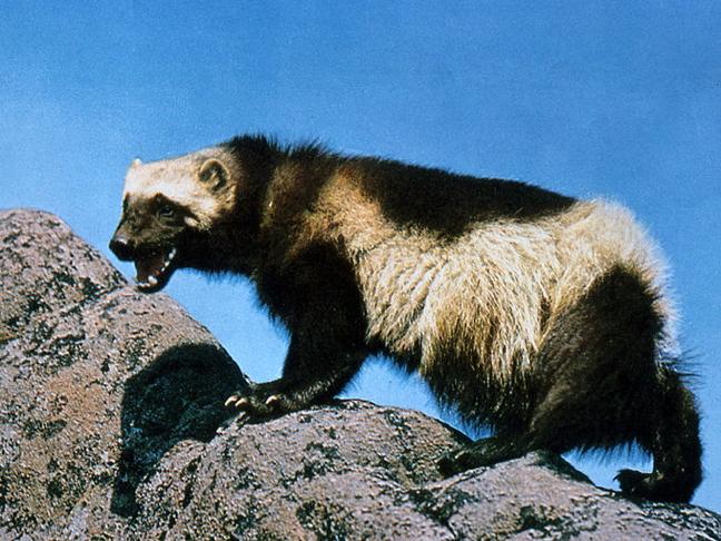 threatened nunavut wolverine habitat may lead to species protection