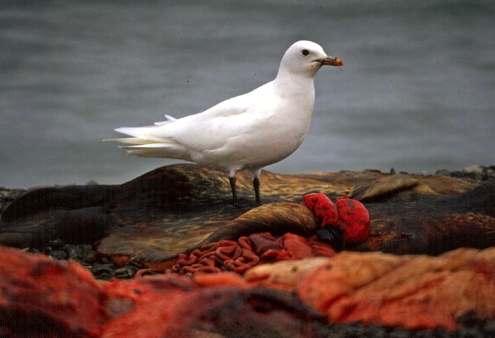 An adult ivory gull feeds on a seal carcass in Resolute Bay in 1989. The eggs of these gulls, whose numbers have plunged by 80 per cent since the 1980s, have the highest toxic mercury concentrations of any Arctic bird. Using feathers from museum specimens from Canada and Greenland for a new study, researchers assessed whether exposure to mercury had increased from 1877 to 2007. They found that while the gulls' diet stayed the same, the amount of methyl mercury increased by 45 per cent in the feathers —