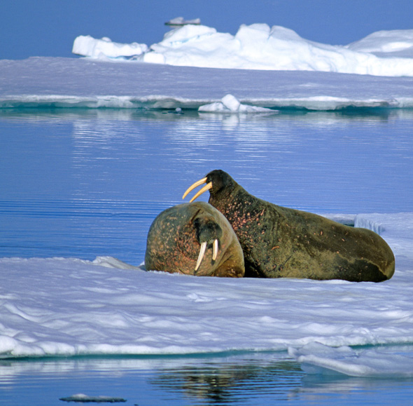 Walruses in Lancaster Sound. (PHOTO BY WAYNE LYNCH/PARKS CANADA)