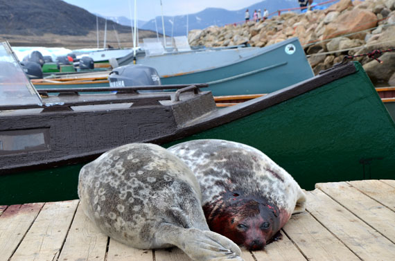 Ring seals lie on the dock in Qikiqtarjuaq. A new proposed regulation from the European Union Commission on trade seal products is intended to the sale of seal meat in EU-member nations. (FILE PHOTO)