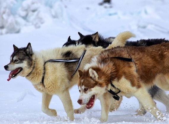 Inuit Dogs Can Trace Ancestry Back To Ancient Siberian Wolf