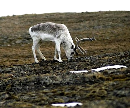 A barren-land caribou forages in this photo from the GNWT, whose recently-released preliminary survey results show a huge decline in the herd numbers. (PHOTO COURTESY OF THE GNWT)