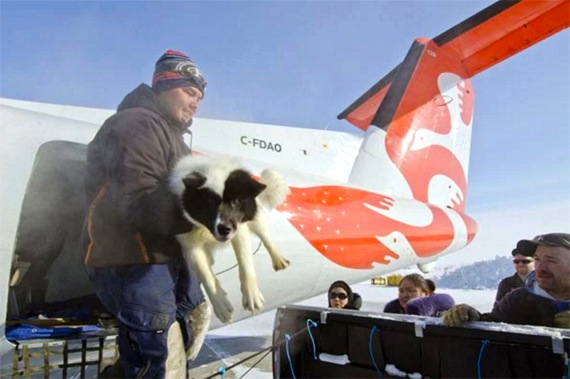 A musher offloads his sled dogs from an Air Inuit Dash-8 March 29 in Quaqtaq, where 12 dog sled teams will set off on the 15th edition of Ivakkak, Nunavik's dog sled race. (PHOTO BY PIERRE DUNNIGAN/IVAKKAK)