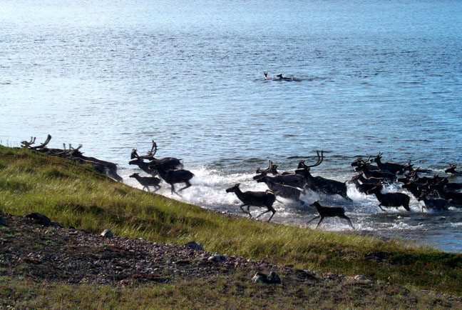 As the population of the Kivalliq region's Qamanirjuaq caribou herd continues to decline, the Beverly and Qamanirjuaq Caribou Management Board wants airlines to give them more information about internet sales of caribou meat, especially between the Kivalliq and Qikiqtani regions. (FILE PHOTO)