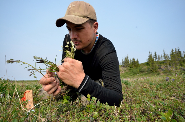 Canadian Museum of Nature botanist Paul Sokoloff collecting plants in the Coppermine River region during a museum-led field expedition in July 2014. (PHOTO BY ROGER BULL)