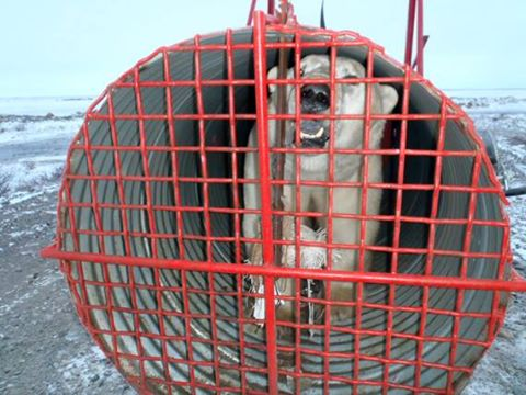 An Arviat wildlife officer has set up two of these polar bear traps east of the community, but the traps have yet to draw any bears this year. (FILE PHOTO