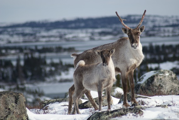 A 2011 survey found Nunavik's Leaf Bay herd is in a
