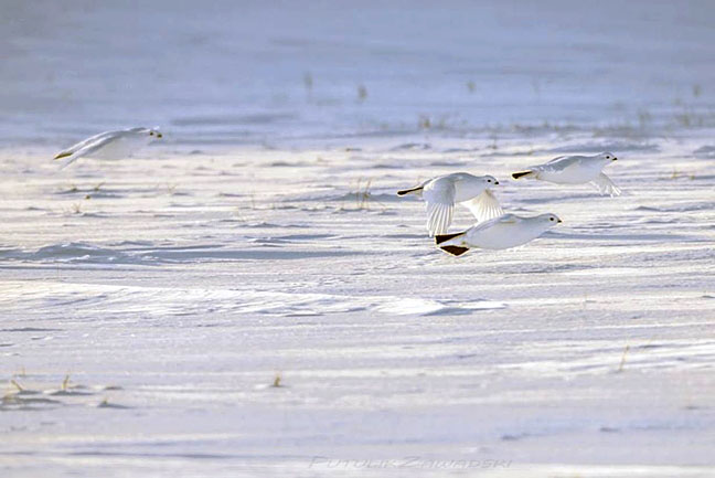 Like ghosts against a snowy tundra, willow ptarmigan take flight about nine kilometres northwest of Rankin Inlet Dec. 16. The willow ptarmigan is the only member of the grouse family in which the male is involved in raising the babies.