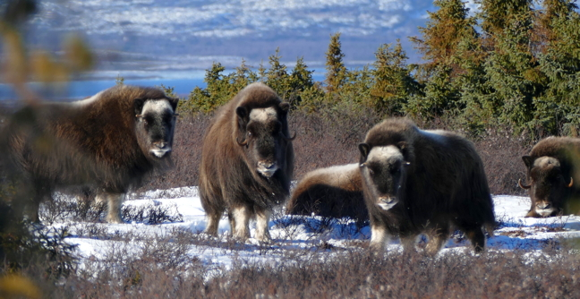 Although these muskoxen were spotted in northern Quebec, they are the same creatures whose furry hides make luxurious wool. (PHOTO BY ALLEN GORDON)