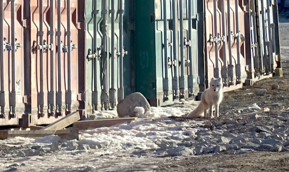 A cute little fox stands next to some containers near a large construction site in Cambridge Bay where many said they had seen construction workers feeding them. (PHOTO BY JANE GEORGE)
