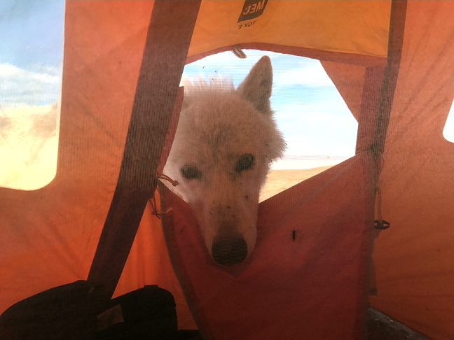 A curious wolf pokes his head into botanist Paul Sokoloff's tent near Lake Hazen in July.