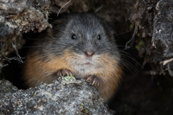 Lemmings are famous for their dramatic, four-year population explosions. (© GUILLAUME SLEVAN-TREMBLAY)