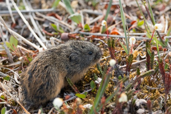 Lemmings, such as this one seen on Bylot Island in Nunavut, are important prey for a number of Arctic predators, including snowy owls and Arctic foxes. (© GUILLAUME SLEVAN-TREMBLAY)