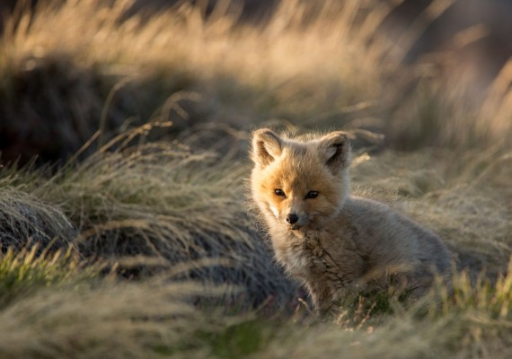 "Clare Kines spied this fox kit at a den near Arctic Bay at midnight on July 1. He first came across the den earlier in the spring, when he saw a female fox that was nursing, and decided to return later. ""There were at least four kits, with this one being the smallest of the litter,"" he writes this week. ""I saw them over the course of about a week, they were already quite grown and ready to leave. They left the den about a week and a half after I first saw them, about 10 days ago."" (PHOTO BY CLARE KINES)"