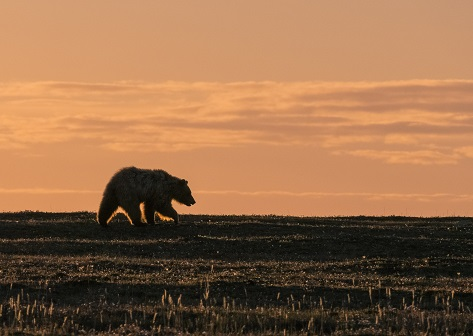 A grizzly bear is spotted hunting for lemmings and voles on the tundra just north of Kugluktuk. Grizzly bears are more and more common on western Nunavut's mainland and on some Arctic islands. Mainland grizzlies eat anything from plant roots and berries to caribou, muskox and smaller rodents. (PHOTO BY M. DUMOND/UMINGMAK PRODUCTIONS INC.)