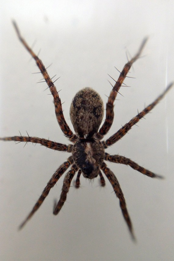 What Do Wolf Spiders Eat >> Climate Change Means Bigger Arctic Spiders And That Could Be A Good