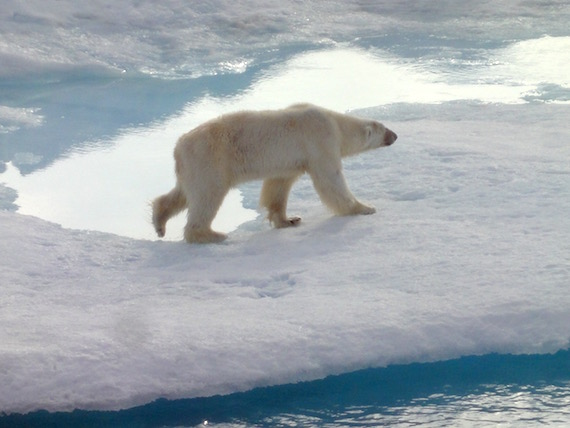 Persistent organic pollutants accumulate in the fat of organisms, growing in concentration as you move up the food chain. That's not good for animals near the top of the chain, such as polar bears. (FILE PHOTO)