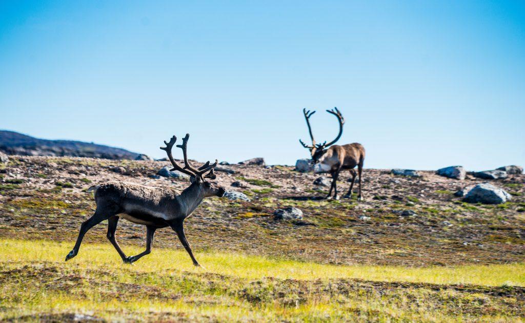 Caribou at Ukkusiksalik National Park