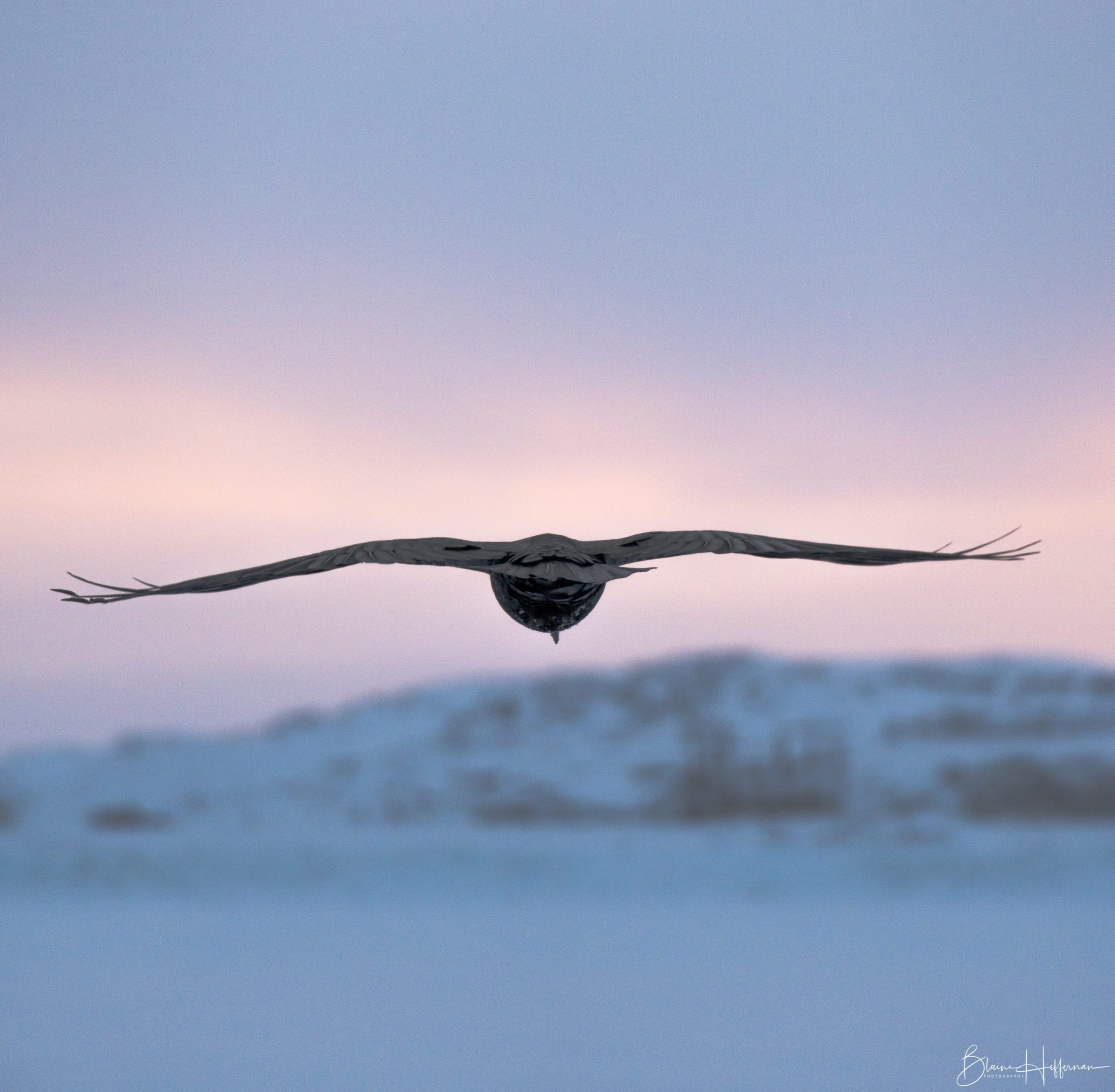"""Blaine Heffernan of Iqaluit photographed this raven in flight Jan. 3 around 3 p.m. """"I was taking some pictures of the sunset at the breakwater, when this raven landed near me. After a short rest, the raven decided it was time to fly off and this was when I was able to capture this image,"""" he writes. (Photo by Blaine Heffernan)"""