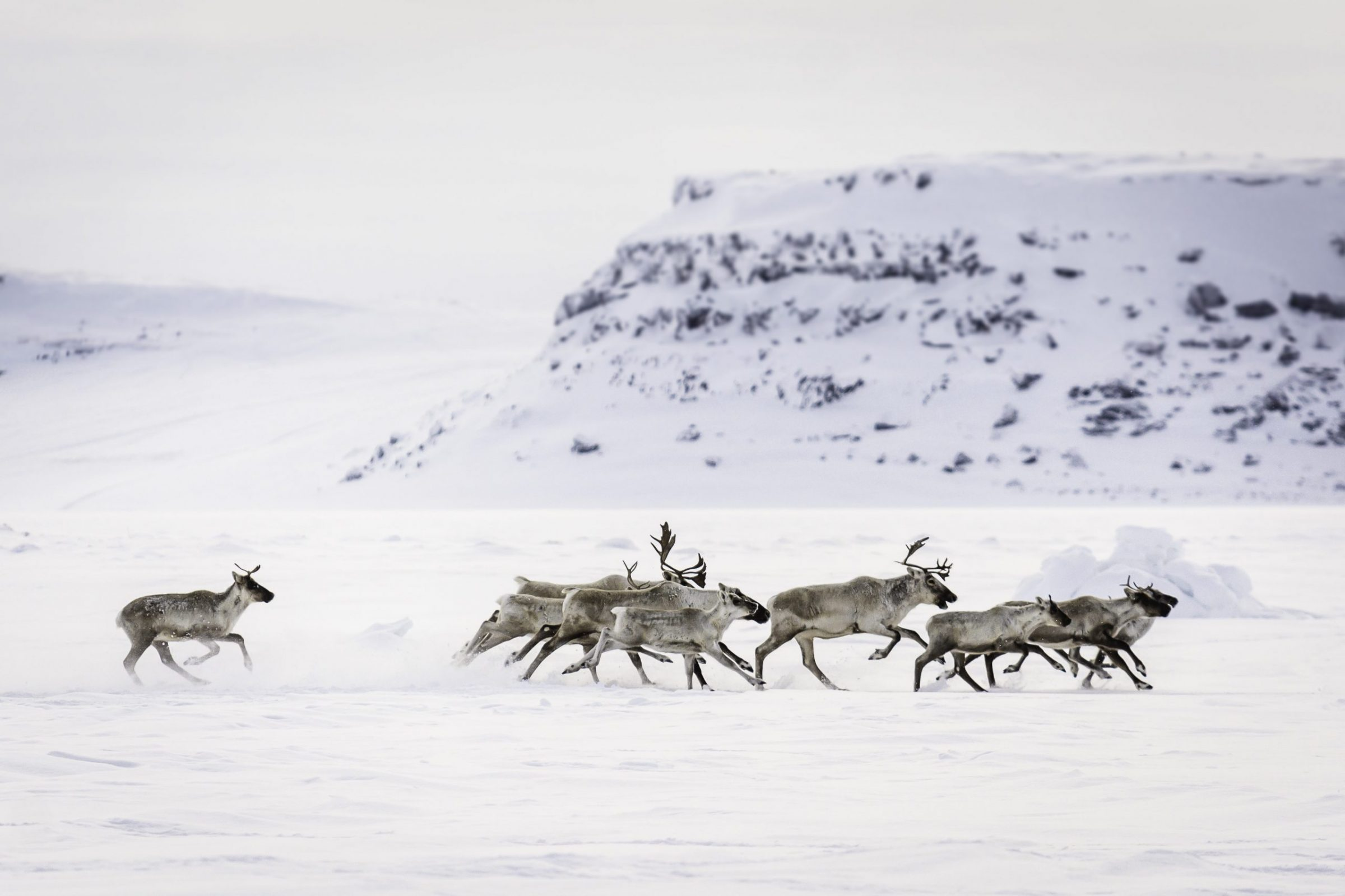 Caribou, part of a herd of several hundred, are seen passing about two kilometres from Inukjuak on Wednesday, Jan. 13. (Photo by Sylvain Paradis)