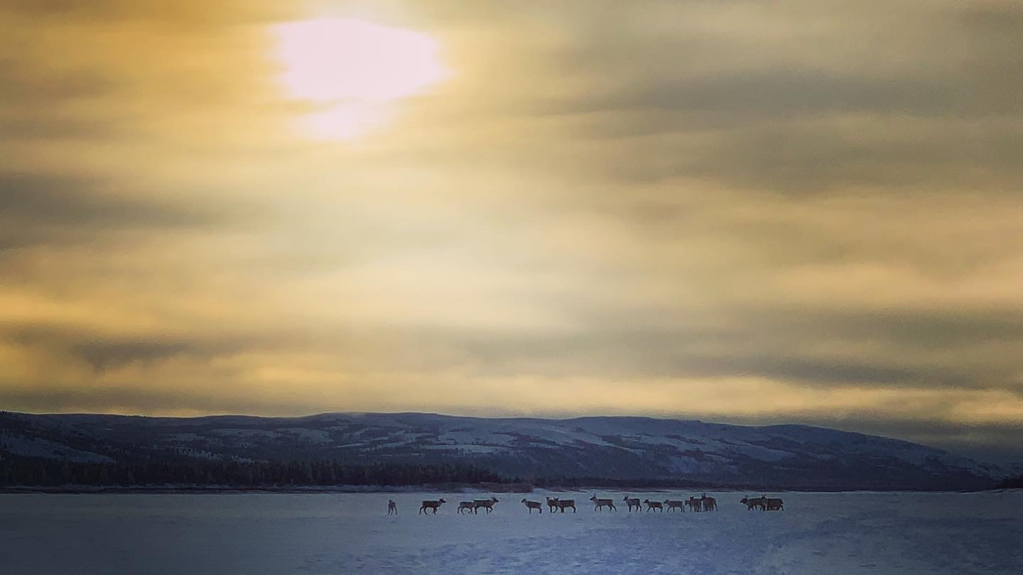 A caribou herd stands beneath the golden sky about 190 kilometres up river from Kuujjuaq Jan. 31. (Photo courtesy of  Malaya Qaunirq Chapman)
