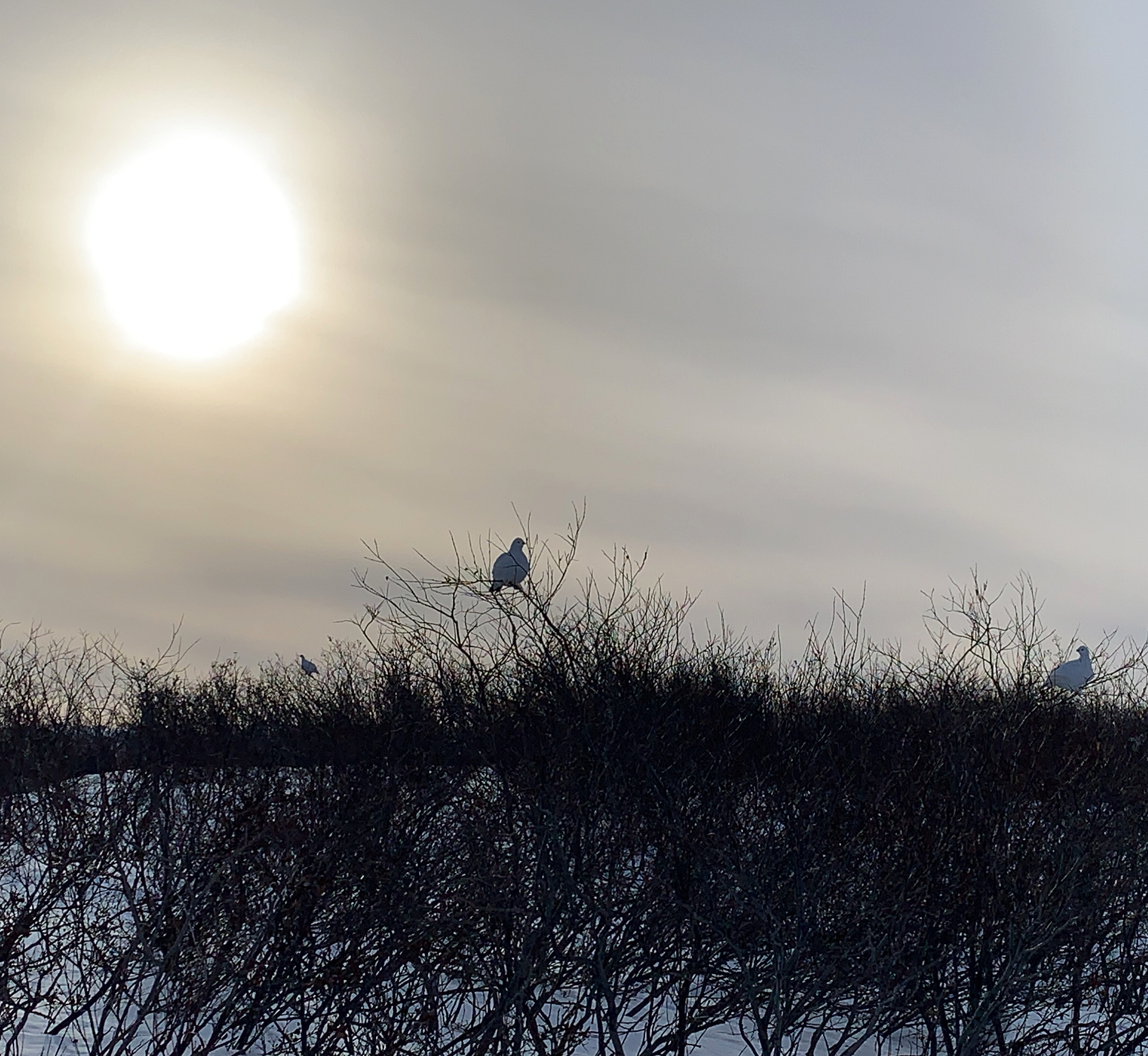 Malaya Qaunirq Chapman spotted these ptarmigans while out hunting with her partner, family and friends on Saturday outside Kuujjuaq. (Photo by Malaya Qaunirq Chapman)