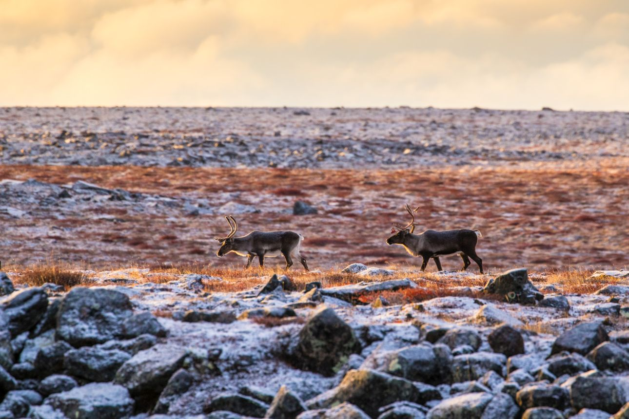 Don't waste caribou, Kivalliq HTO tells hunters | Nunatsiaq News
