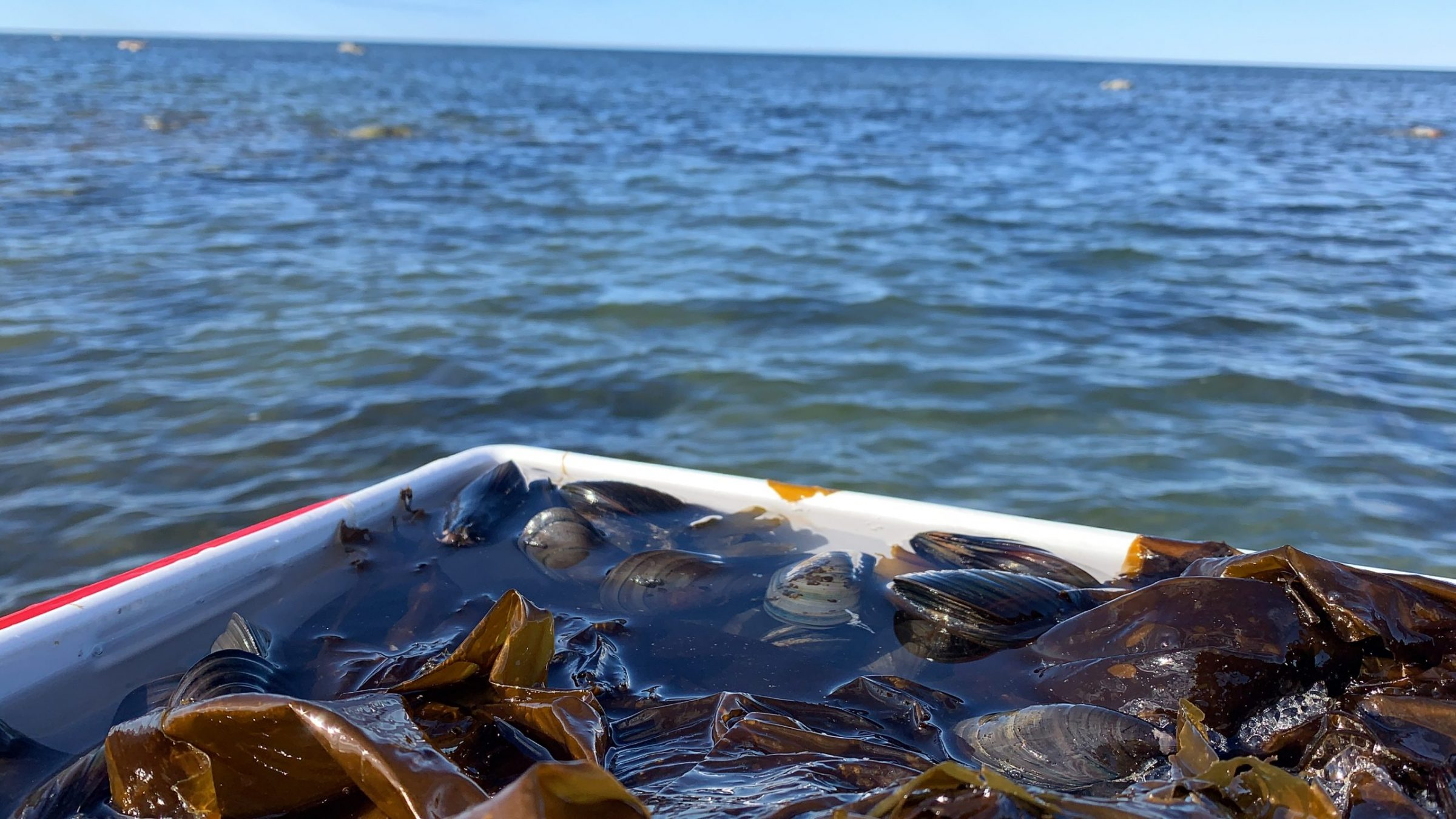 """Malaya Qaunirq Chapman of Kuujjuaq took this photo of the haul of mussels she collected with her family at Dry Bay June 13. """"We're excited to be mussel picking on our first boat ride of the season,"""" she wrote. (Photo by Malaya Qaunirq Chapman)"""