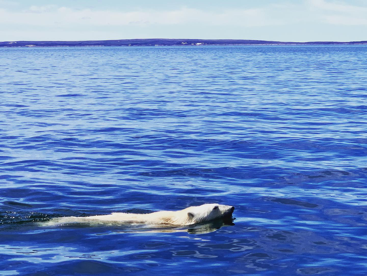 """Malaya Qaunirq Chapman of Kuujjuaq spotted this polar bear during a July 1 boating trip near an island in Ungava Bay called Aluqpaluk. """"We first saw the polar bear on the island, then it went for a swim to give us space,"""" she writes. """"We kept our distance so no disturbance was made."""" (Photo by Malaya Qaunirq Chapman)"""