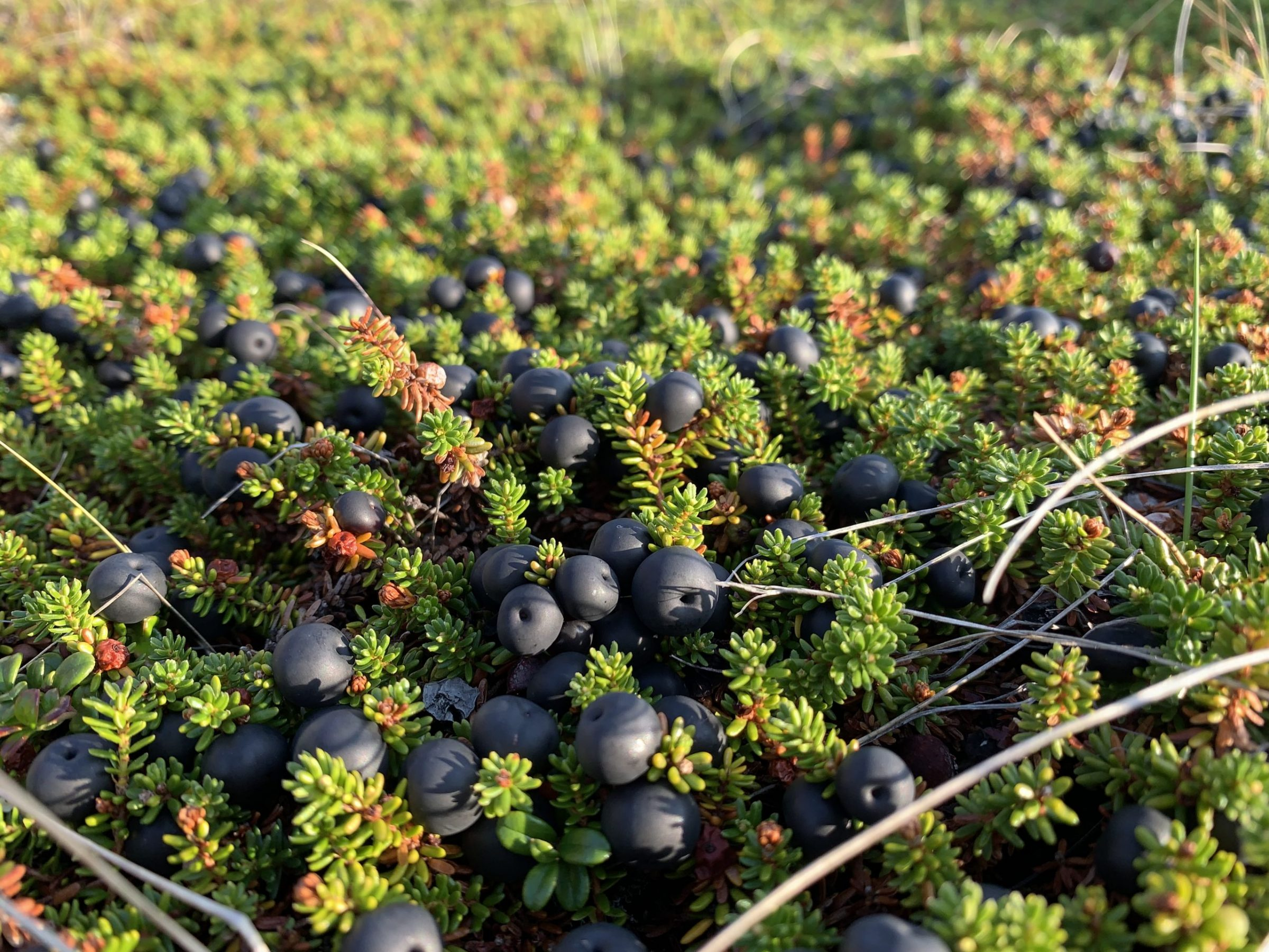 """Malaya Qaunirq Chapman of Kuujjuaq recently visited the Snowball family camp at Tunulik and found a bounty of crowberries, or paurngaq. """"This camp has some of the healthiest patches of berries everywhere!"""" she writes. (Photo by Malaya Qaunirq Chapman)"""